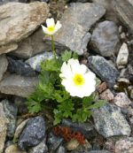 Ranunculus_traunfellnerii_TOM_8818.JPG