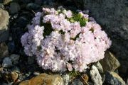 Armeria_caespitosa_White_Rose_TOM_7966.JPG