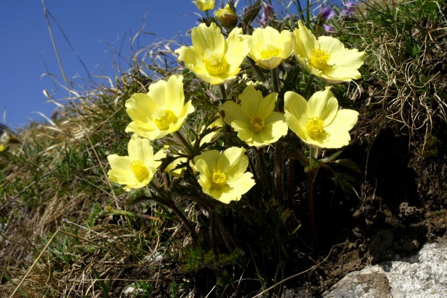 Lepontine Alps/Rhaetian Alps 2012 - Alpine Plants